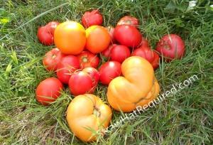 Tomatoe Harvest-001